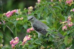 Grijze Catbird stock fotografie