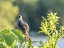Grijze catbird, Dumetella-carolinensis Stock Foto