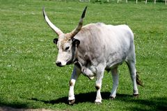 Grijze cattle3 Royalty-vrije Stock Foto's