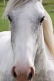 Grijze dichte omhooggaand van het paard volledige gezicht Royalty-vrije Stock Foto