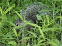 Grijze die eekhoorn in het lange gras wordt verborgen stock fotografie