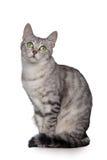 Grijze die kat op wit wordt geïsoleerd Royalty-vrije Stock Foto