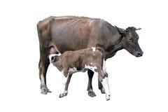 Grijze die koe met kalf op het wit wordt geïsoleerd Royalty-vrije Stock Foto