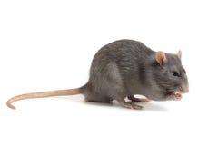 Grijze die rat op witte achtergrond wordt geïsoleerd royalty-vrije stock fotografie