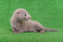 Grijze dierlijke mink Royalty-vrije Stock Foto