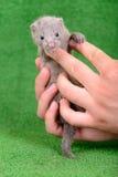 Grijze dierlijke mink Royalty-vrije Stock Afbeeldingen