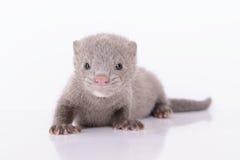 Grijze dierlijke mink Royalty-vrije Stock Fotografie