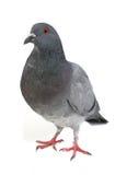 Grijze duif Royalty-vrije Stock Foto's