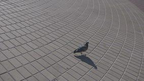 Grijze duif die langs het asfalt lopen stock video