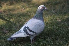 Grijze duif op ingediend Royalty-vrije Stock Fotografie