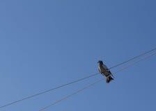 Grijze duifzitting op een kabel Royalty-vrije Stock Foto's