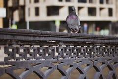 Grijze duifzitting op een zwarte verdraaide omheining van de brug tegen het stedelijke landschap Sluit omhoog Stadsvogel - Duif stock fotografie