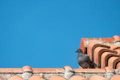 Grijze duifzitting op het oranje dak van het kleihuis Stock Foto