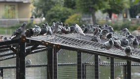 Grijze duiven in een vogelspark stock videobeelden