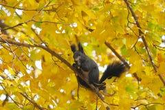Grijze eekhoorn Royalty-vrije Stock Afbeeldingen