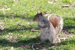 Grijze eekhoorn Stock Fotografie