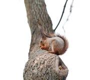 Grijze eekhoorn Stock Foto's