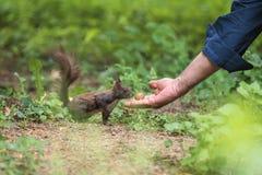 Grijze Eekhoorn stock afbeeldingen