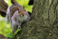 Grijze eekhoorn Stock Foto