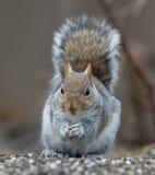 Grijze eekhoorn Royalty-vrije Stock Foto's