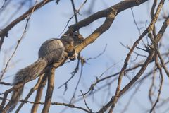 Grijze eekhoorn in de boom in het park Royalty-vrije Stock Fotografie
