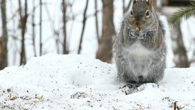 Grijze eekhoorn - de oostelijke of grijze eekhoornclose-up van sciuruscarolinensis - stock footage