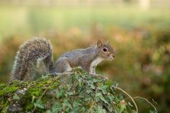 Grijze eekhoorn in de voorgrond die pinda eten Stock Fotografie