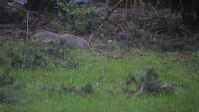 Grijze eekhoorn die door werf in lichte sneeuw zoeken stock video