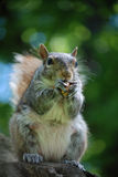 Grijze eekhoorn die een pinda eet Royalty-vrije Stock Afbeelding
