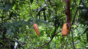 Grijze eekhoorn die fruit op boomwortel eten stock video