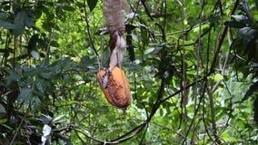 Grijze eekhoorn die fruit op boomwortel eten stock footage