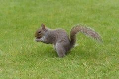 Grijze eekhoorn die noot eten Royalty-vrije Stock Fotografie