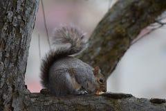 Grijze eekhoorn die noten eten bij het park Royalty-vrije Stock Afbeelding