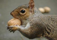 Grijze eekhoorn die okkernoot eet Stock Afbeeldingen
