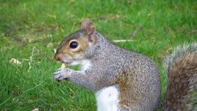 Grijze eekhoorn die op het gras eet stock video