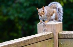 Grijze eekhoorn die op post van een doorstaan dektraliewerk wordt neergestreken stock foto's