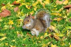 Grijze eekhoorn en pinda Royalty-vrije Stock Afbeeldingen