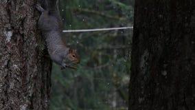 Grijze eekhoorn hangende bovenkant - onderaan het in evenwicht brengen op een kleine tak in regen stock video