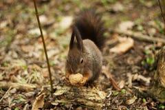 Grijze eekhoorn in het hout die een okkernoot eten Stock Afbeelding