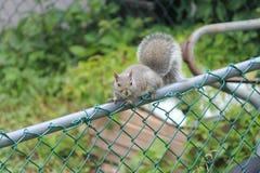Grijze eekhoorn, (Jong) Stock Foto's