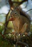 Grijze eekhoorn met strobile Stock Afbeelding