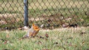 Grijze eekhoorn op een post met een zaadpeul Royalty-vrije Stock Afbeelding