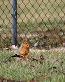 Grijze eekhoorn op een post met een zaadpeul Stock Afbeeldingen