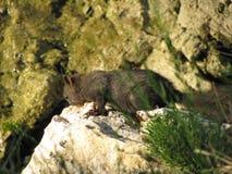 Grijze eekhoorn op een rots dichtbij de Middellandse Zee in Kroatië stock afbeeldingen