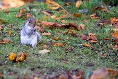 Grijze eekhoorn op het gras royalty-vrije stock foto's
