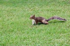 Grijze eekhoorn op het groene gras stock fotografie