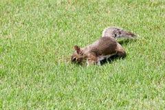 Grijze eekhoorn op het groene gras stock afbeelding
