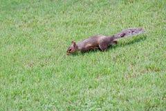 Grijze eekhoorn op het groene gras royalty-vrije stock afbeelding