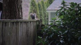 Grijze eekhoorn op omheining tijdens begin van sneeuwdaling stock video