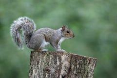 Grijze eekhoorn, Sciurus-carolinensis Royalty-vrije Stock Afbeeldingen